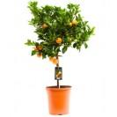 Мандариновое дерево и другие цитрусовые.