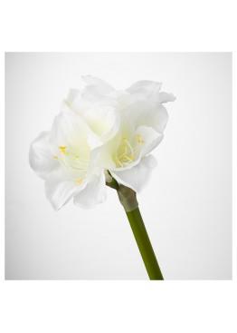 Белые амариллисы поштучно от 3 штук