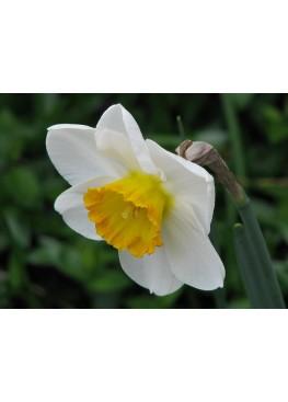 Нарцисс белый (Россия) поштучно