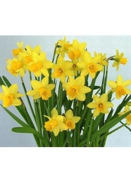 Нарцисс желтый кустовой поштучно
