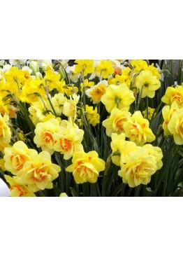 Нарцисс желтый Special (Голландия) поштучно
