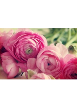 Розовые ранункулюсы