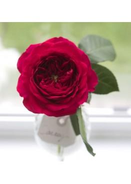 Розы Дарси