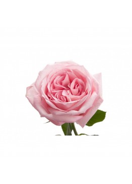 Розы Пинк о'Хара