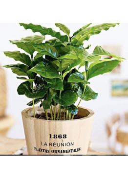 Кофейное дерево в ведре